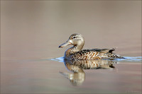 Blue-winged Teal ~ female