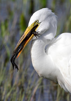 EGRET WITH FROG