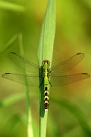 GREEN CLEARWING
