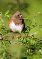 Eastern Towhee  female