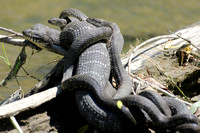 NORTHERN WATERSNAKE WITH YOUNG