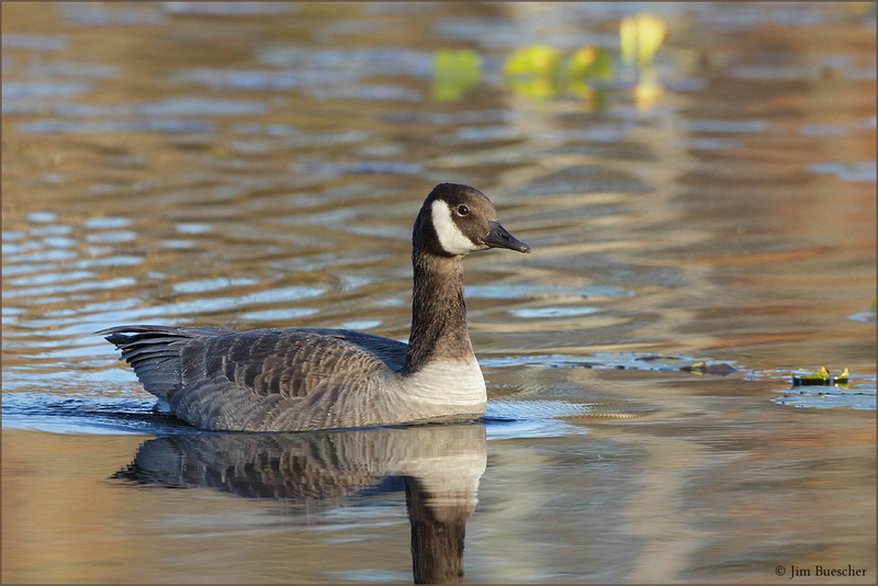 Canada Goose coats online 2016 - Which Subspecies of Canada Goose? - Help Me Identify a Bird ...