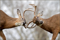 Whitetail Deer Sparring
